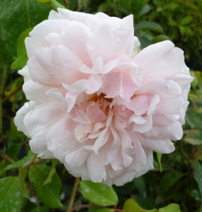 Rosa Mme Alfred Carriere