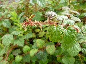 Rubus Betty Ashburner