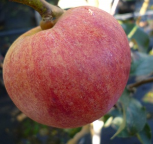 Somerset Redstreak Apple