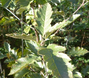 Whitebeam Swedish - Sorbus intermedia