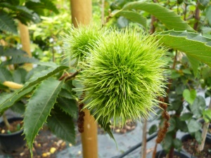 Sweet Chestnut Maraval