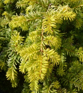 Taxus baccata Corleys Copper Tip