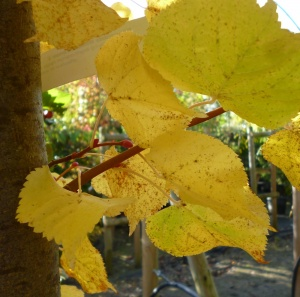 Tilia cordata Winter Orange