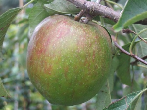Allington Pippin Apple
