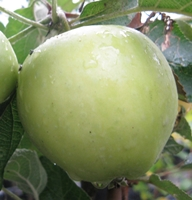 Keswick Coddling Apple