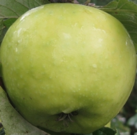 Laxtons Superb Apple