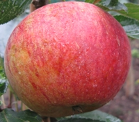 Merton Beauty Apple