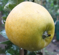 Pitmaston Pineapple Apple
