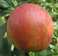 Red Windsor Apple