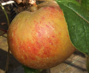 Suntan Apple