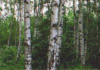 Birch Silver Tree - Betula pendula