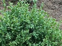 Pot Grown Common Box Hedging -  Buxus sempervirens