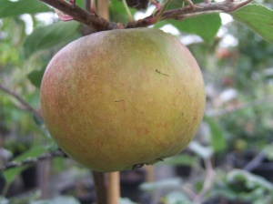 Cox Self Fertile Apple