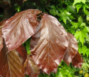 Beech Purple Tree - Fagus sylvatica Purpurea