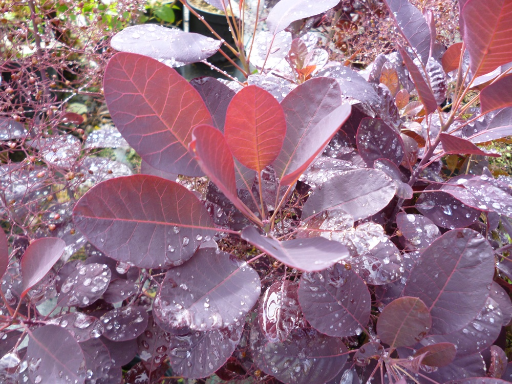 Cotinus coggygria royal purple - Arbre a feuille rouge persistant ...
