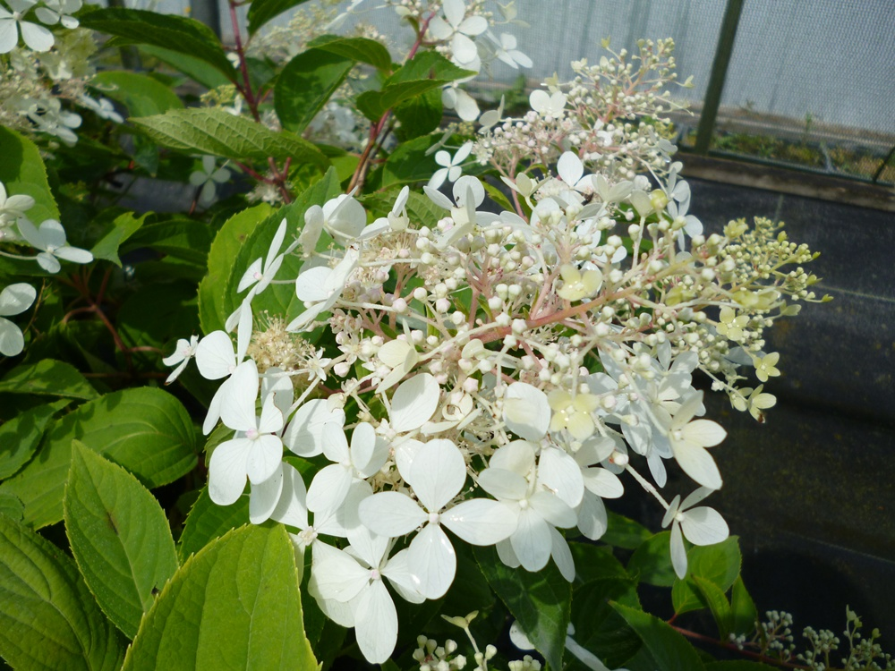 hydrangea paniculata phantom. Black Bedroom Furniture Sets. Home Design Ideas
