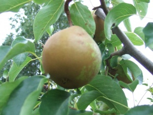 Pear Beurre Superfin