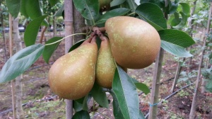 Pear Fertility Improved