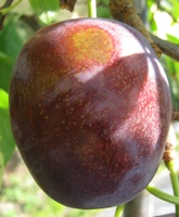 Plum Marjories Seedling