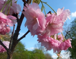 Prunus Pink Perfection