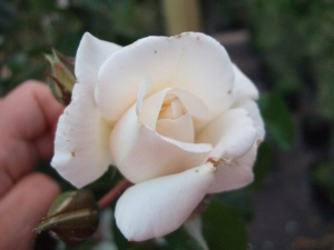 Rosa White Cockade