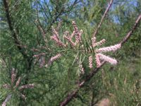 Pot Grown Tamarisk - Tamarix Gallica