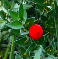Butcher's Broom - Ruscus aculeatus