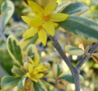 Corokia virgata Sunsplash