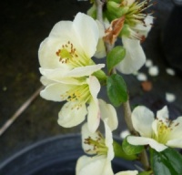 Chaenomeles superba Lemon and Lime