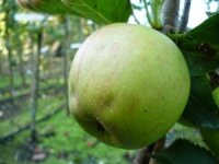 Claygate Pearmain Apple