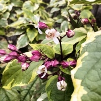 Clerodendrum trichotomum Carnival