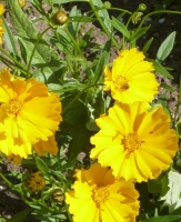 Coreopsis grandiflora Mayfield Giant