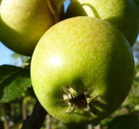 Court of Wick Apple