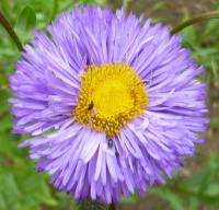 Erigeron Azure Beauty