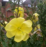 Fragrant Evening Primrose (Oenothera stricta)