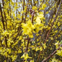 Forsythia intermedia Weekend (Courtalyn)