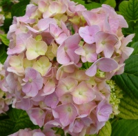 Hydrangea macrophylla All Summer Beauty