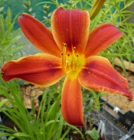 Hemerocallis Brownie Points