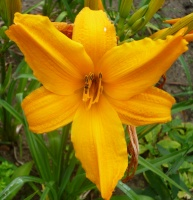 Hemerocallis Burning Daylight