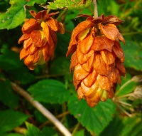 Common Hop (Humulus lupulus)