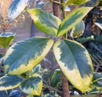 Ilex altaclarensis Golden King