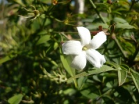 Jasminum officinale f. affine (Grandiflorum)