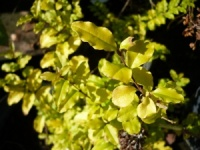 Ligustrum ovalifolium Lemon & Lime