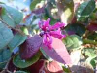 Loropetalum chinese var rubrum Blush