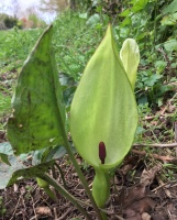 Lords & Ladies (Arum maculatum)
