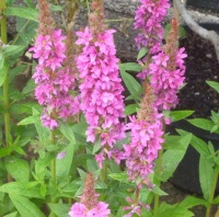 Lythrum salicaria Robert