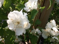 Philadelphus Beauclerk