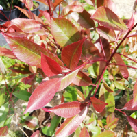 Photinia x fraseri Red Robin
