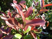 Photinia x fraseri Super Red
