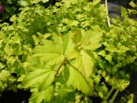 Physocarpus Darts Gold